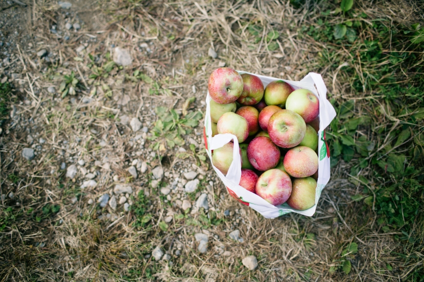 pick-your-own-apples-harvard-ma-1